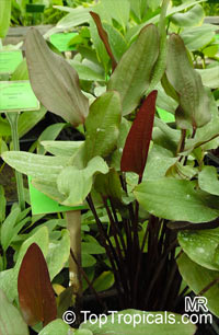 Echinodorus sp., Sword-Plant  Click to see full-size image