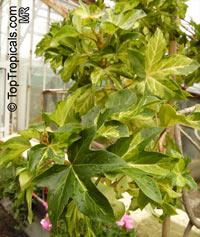x Fatshedera lizei, Fatshedera, Ivy TreeClick to see full-size image