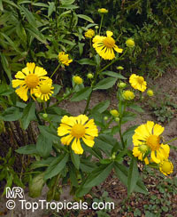 Helenium sp. , Sneezeweed  Click to see full-size image