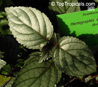 Hemigraphis alternata, Hemigraphis colorata, Red Ivy, Red Flame Ivy, Waffle plant