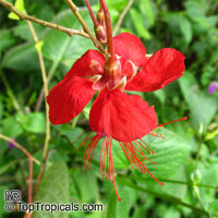 Hibiscus grandidieri, Red Chinese Lantern