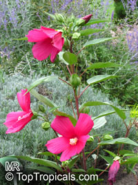 Hibiscus moscheutos, Swamp-rose Mallow, Hardy Hibiscus, Crimsoneyed Rosemallow, Rose Mallow, Swamp Mallow  Click to see full-size image
