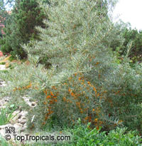 Hippophae rhamnoides, Sea Buckthorn
