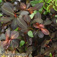 Hoffmannia roezlii, Taffeta Plant  Click to see full-size image