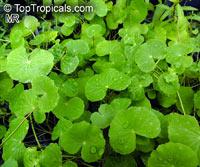 Hydrocotyle leucocephala, Brazilian Pennywort  Click to see full-size image