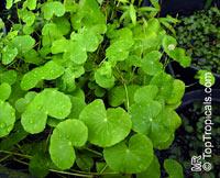 Hydrocotyle leucocephala, Brazilian PennywortClick to see full-size image