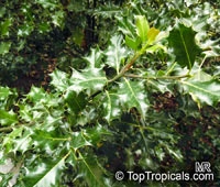Ilex aquifolium , Holly, European Holly 