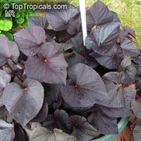 Ipomoea batatas, Sweet Potato Vine, Camote, BoniatoClick to see full-size image