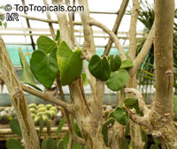 Jatropha sp., Coral Plant  Click to see full-size image