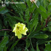 Oenothera macrocarpa, Missouri Evening Primrose  Click to see full-size image