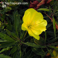 Oenothera sp., Evening Primrose, Suncups, Sundrops  Click to see full-size image