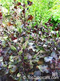 Perilla frutescens, Shiso, Beefsteak Plant, Rattlesnake Weed, Perilla Mint, Chinese Basil, Akajiso, Jasoyup, Chirimenjiso   Click to see full-size image