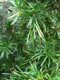Podocarpus macrophyllus, Buddhist Pine, Chinese Yew, Kusamaki, InumakiClick to see full-size image