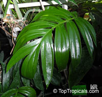 Rhaphidophora decursiva, Creeping Philodendron  Click to see full-size image