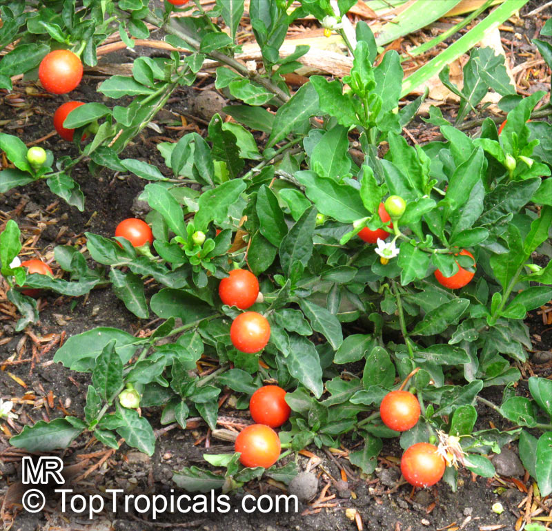 Solanum Capsicastrum False Jerusalem Cherry Winter