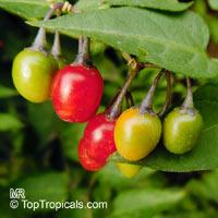 Solanum dulcamara, Bittersweet Nightshade, Climbing Nightshade  Click to see full-size image