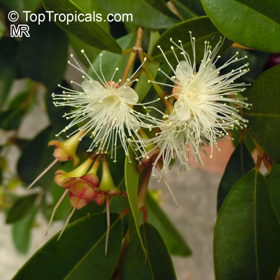 Syzygium Paniculatum  Eugenia Paniculata  Australian Brush