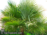 Trachycarpus fortunei, Chamaerops excelsa, Chamaerops fortunei, Trachycarpus excelsa, Chusan Palm, Chinese Windmill Palm  Click to see full-size image