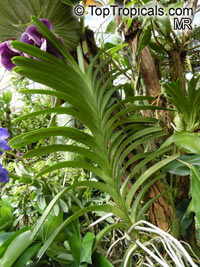 Vanda sp., Vanda Orchid