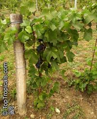 Vitis vinifera, Wine Grape  Click to see full-size image