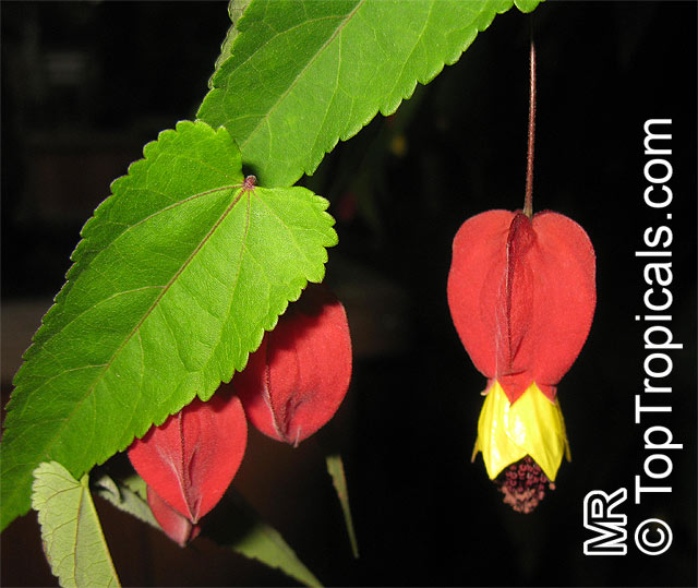Toptropicals rare plants for home and garden abutilon megapotamicum brazilian bell flower click to see full size image mightylinksfo Image collections
