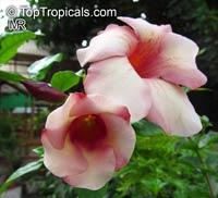 Allamanda violacea Cream, AllamandaClick to see full-size image