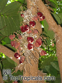 Aristolochia arborea , Aristolochia Tree  Click to see full-size image