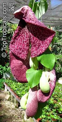 Aristolochia gigantea var. Brasiliensis, Giant Calico Flower, Giant Pelican Flower  Click to see full-size image