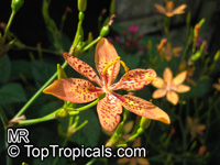 Belamcanda chinensis, Blackberry Lily  Click to see full-size image