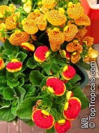 Calceolaria herbeohybrida, Pouch flower, Slipper flower, Slipperwort, Pocket book flower