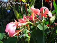 Canna glauca, Aquatic Canna, Maraca Amarilla, Water Canna   Click to see full-size image
