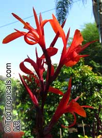 Canna speciosa - seeds  Click to see full-size image