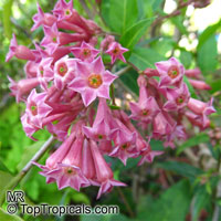 Cestrum sp., Butterfly FlowerClick to see full-size image