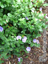 Convolvulus sp., BindweedClick to see full-size image