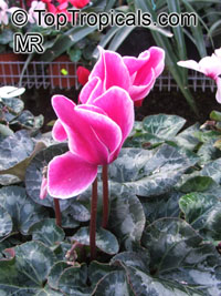 Cyclamen sp., Persian VioletClick to see full-size image