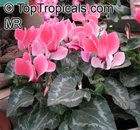 Cyclamen sp., Persian Violet