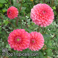 Dahlia sp., Dahlia