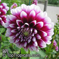 Dahlia sp., Dahlia  Click to see full-size image