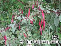 Fuchsia magellanica, Hardy FuchsiaClick to see full-size image