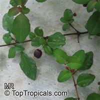 Fuchsia sp., Fuchsia  Click to see full-size image