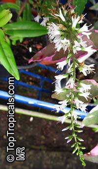 Hebe sp., Veronica  Click to see full-size image