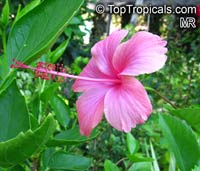 Hibiscus x archeri, Red Hibiscus, Archer's Hibiscus