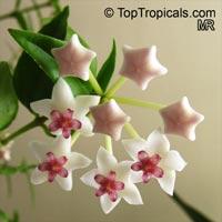 Hoya nummularioides - Dwarf Fragrant Hoya  Click to see full-size image