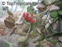 Hoya sp., Wax FlowerClick to see full-size image