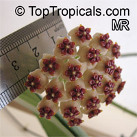 Hoya kerrii, Wax Hearts, Sweetheart Hoya, Valentine Hoya, Heart leafClick to see full-size image