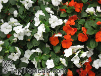 Impatiens sp., Garden Balsam, Touch-me-not, Jewel Weed  Click to see full-size image