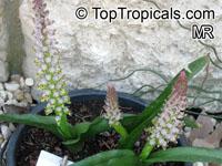 Lachenalia mutabilis, Mutabilis Cape Cowslip  Click to see full-size image