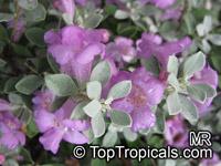 Leucophyllum frutescens, Texas Ranger, Texas Sage, Barometer Bush, Cenizo, Silverleaf, Purple Sage  Click to see full-size image