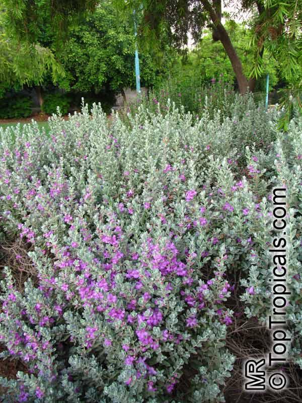 Leucophyllum Frutescens Texas Ranger Texas Sage Barometer Bush Cenizo Silverleaf Purple Sage Toptropicals Com