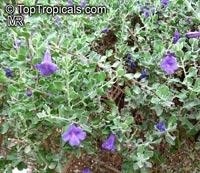 Leucophyllum sp., Texas Sage  Click to see full-size image
